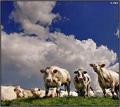В Германии поезд врезался в стадо коров