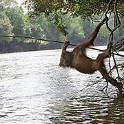 Орангутаны Борнео проявляют удивительные способности