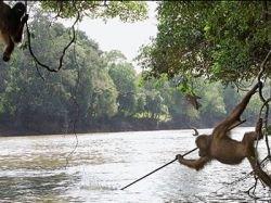 Орангутангов научили ловить рыбу (фото)