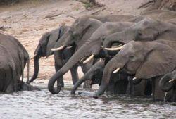 В Южной Африке возобновляется отстрел слонов