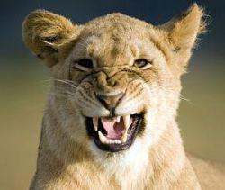 В Ростове из зоопарка сбежала львица