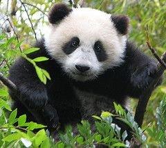 Япония хочет арендовать у Китая больших панд