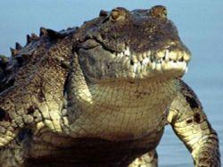 Кровь крокодилов обладает уникальными целебными свойствами