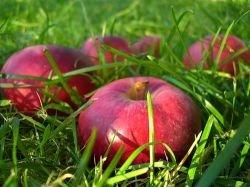 Яблоки и яблочный сок предотвращают сердечно-сосудистые болезни