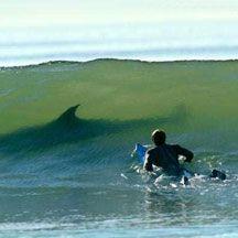 Серфинг с белой акулой (видео)