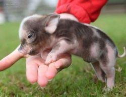 Карманные свинки: новая мода на домашних животных (фото)