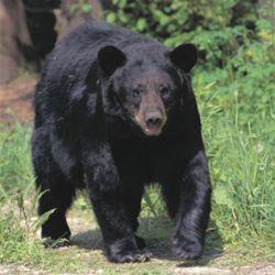 В американской тюрьме поселился медведь