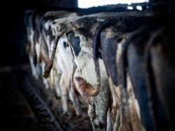 Эстонских крестьян озадачил налог на коровьи газы