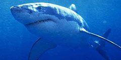 На мексиканском курорте уничтожают акул в угоду отдыхающим