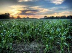 Ученые создали новые разновидности генноинженерной кукурузы