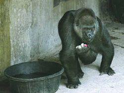 Старейшей живущей в неволе горилле исполнилось 55 лет