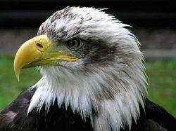 Индеец пойдет под суд за убийство орлана