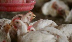 Перелетные птицы принесли в Японию птичий грипп