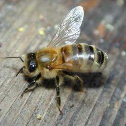 Жители венгерской деревни потребовали запретить разведение пчел