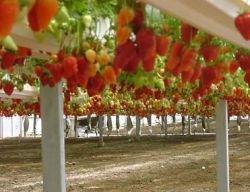Недостаток гастарбайтеров поставил под угрозу сбор урожая в Великобритании
