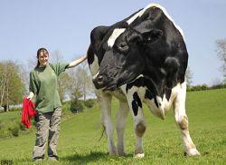 В Великобритании выращен гигантский бык размером с небольшого слона