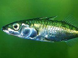 Для принятия решений рыбам необходим кворум