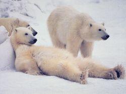МВД США будет защищать белых медведей