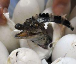 Как появляются на свет крокодилы? (фото)