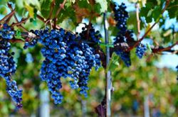 Восстановлен рецепт легендарного вина династии Медичи
