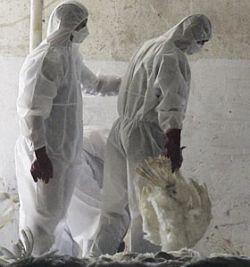 Вирус птичьего гриппа становится устойчивее