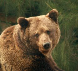 Эстонские медведи эмигрируют в Россию