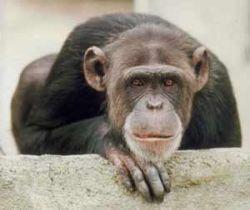 Шимпанзе наблюдают за людьми