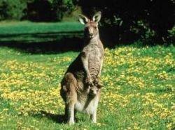 Австралийцы пытаются спасти кенгуру от расстрела