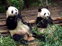 В крупнейшем в мире заповеднике панд в Китае после землетрясения удалось спасти только половину животных