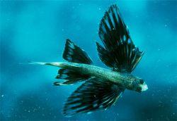 Полет самой удивительной летучей рыбы сняли на видео (видео)