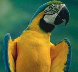 В Японии блудный попугай вернулся к хозяину благодаря умению говорить