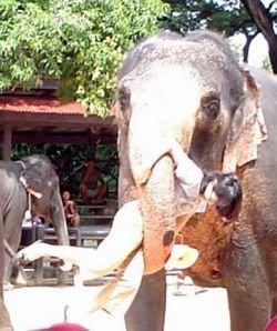 Индийский парад слонов обернулся трагедией (видео)