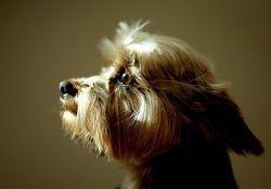 Американская компания выставила на всемирный аукцион свои услуги по клонированию собак