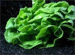 Листья салата – «еда кинозвезд»