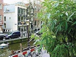 Парижане стали украшать балконы своих домов кустами конопли