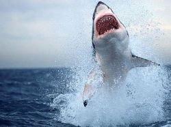 Многим видам акул грозит вымирание