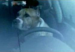 Фанат Nissan Qashqai заставил собаку выполнить автомобильный трюк (видео)