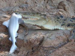 Битва титанов в Австралии: крокодил одержал победу над акулой