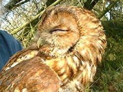 Самая старая сова в Великобритании обзавелась тремя птенцами