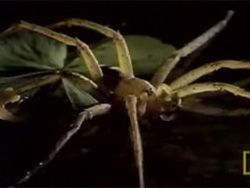 Из жизни насекомых: охота паука на лягушку
