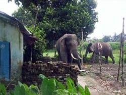 Дикая слониха убила семерых жителей индийской деревни