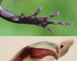 Волосатые лягушки превращают свои кости в когти