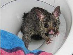 Австралиец обнаружил в своем туалете опоссума