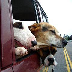Honda начинает проводить тест-драйвы для собак