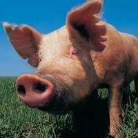 Россельхознадзор разрешил поставки свинины из Канады