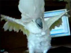 Попугай, который любит рок-музыку