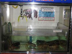 Японцы придумали автомат для ловли омаров