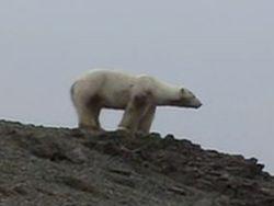 Белый медведь самостоятельно приплыл в Исландию