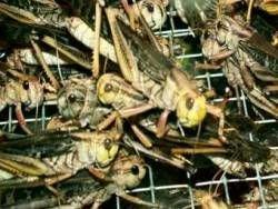 В Дагестане началось нашествие саранчи