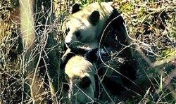 Раскрыт секрет сексуальной жизни панд